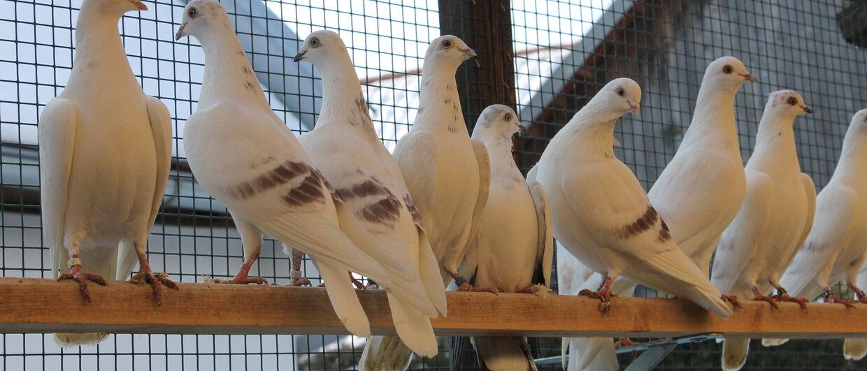 Венские высоколетные голуби